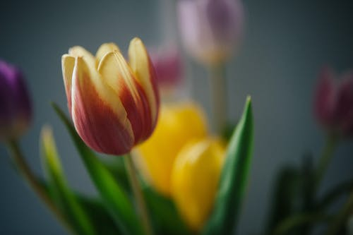 Selective focus of vibrant multicolored tulips with fragile petals and verdant leaves on blurred background