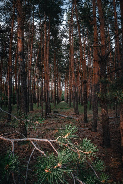 Free stock photo of bushcraft, forest, outdoors, pine trees