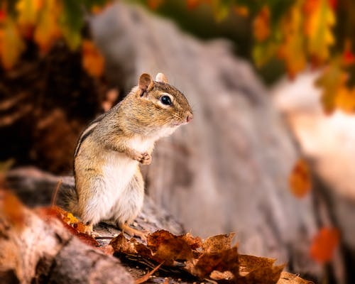 Chipmunk with small body standing among fallen leaves