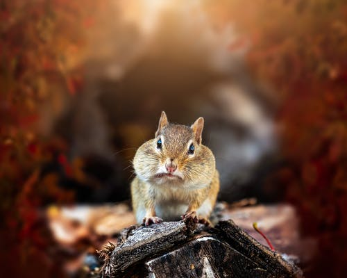 Funny little chipmunk crawling on log against blurred foliage of autumn trees in nature