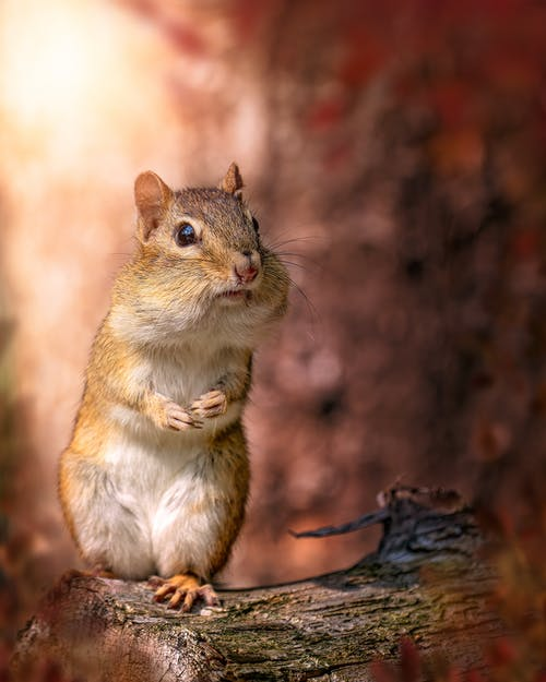 Adorable fluffy chipmunk with mouth full of food standing on wooden log in nature