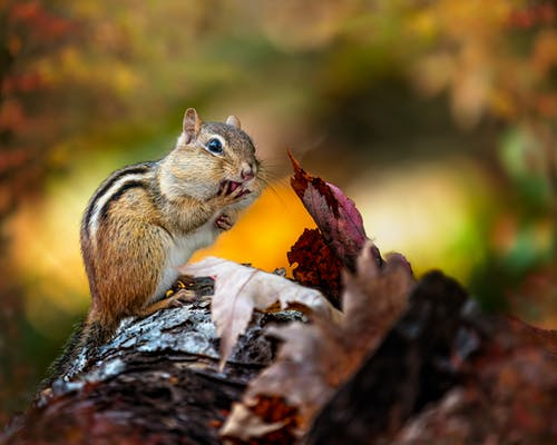 Hungry chipmunk eating nuts in autumn nature