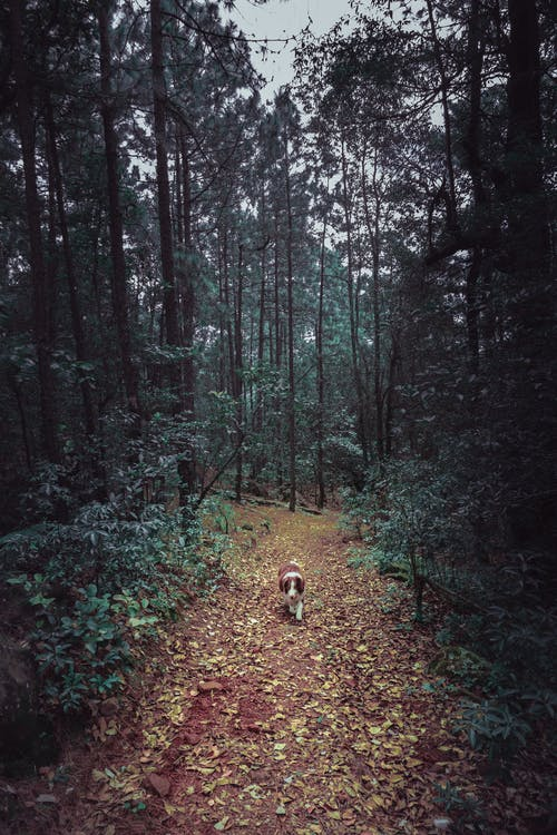 Brown Dog Walking on Forest