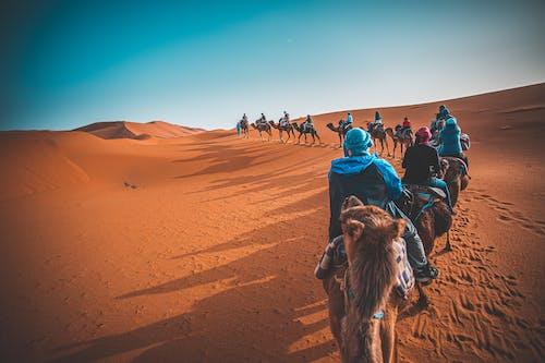 Free stock photo of camel, camels, caravan, desert