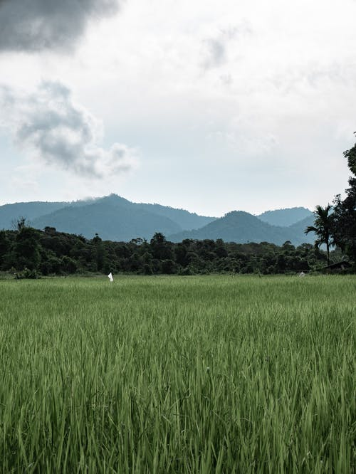Green Rice Field Near Green Trees Under White Clouds