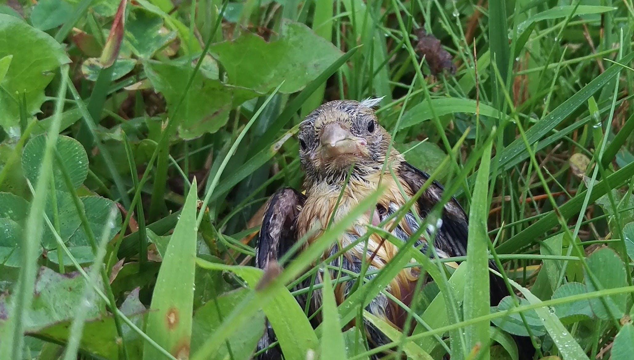 Kostenloses Stock Foto zu nasses baby vogel gras