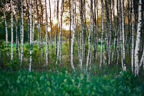 Kostenloses Stock Foto zu baum, bäume, dämmerung, gras