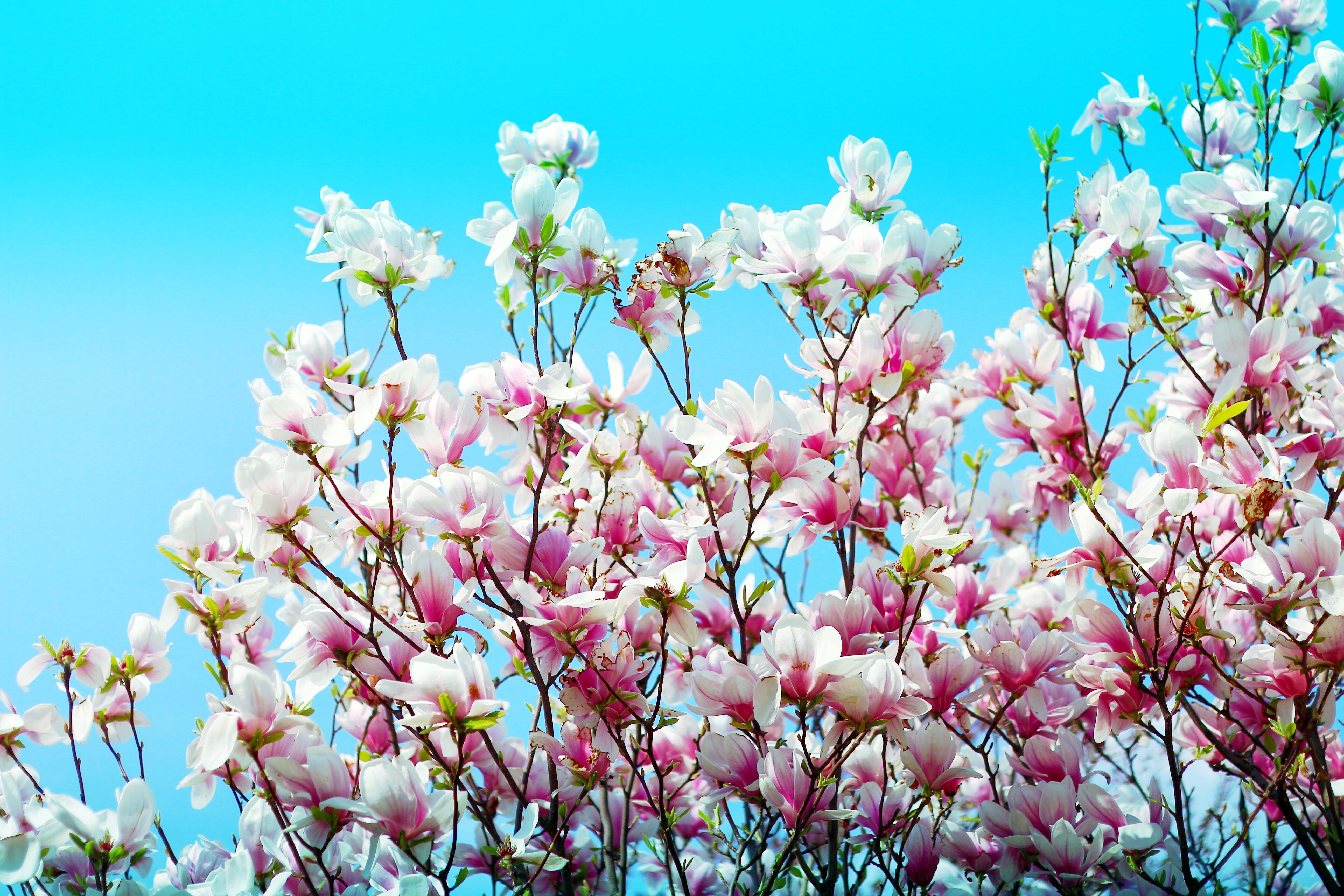 Kostnadsfri bild av blå himmel, blommor, blomning, färger