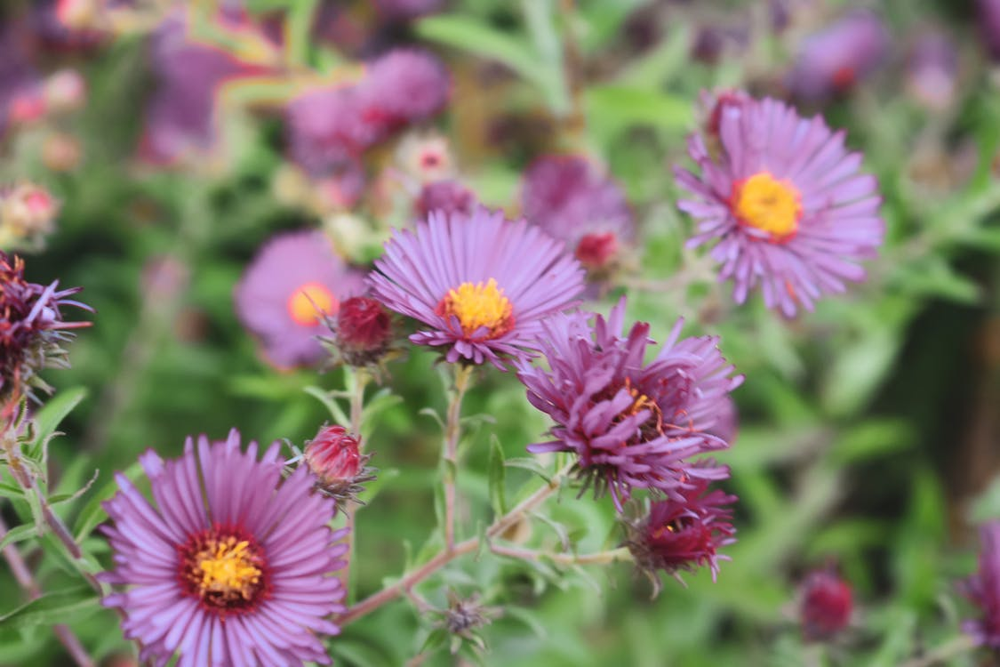 Bright blooming flowers of Alpine aster on blurred background of nature at daytime