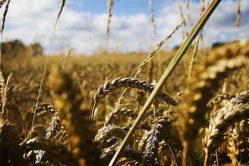 Photos gratuites de agriculture, aliments, blé