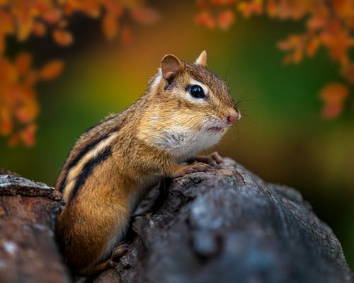 Side view of funny little chipmunk with fluffy stripped fur sitting on log against blurred autumn foliage