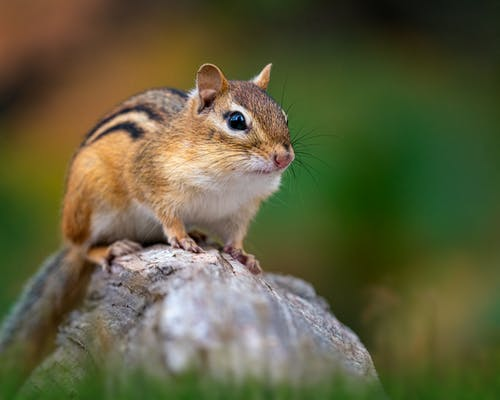 Chipmunk on stone in meadow