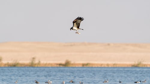 Wild osprey flying above blue water of sea against sandy coast under cloudless sky in daytime