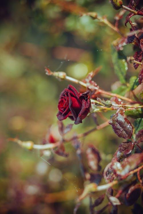 Red Flower Bud in Tilt Shift Lens