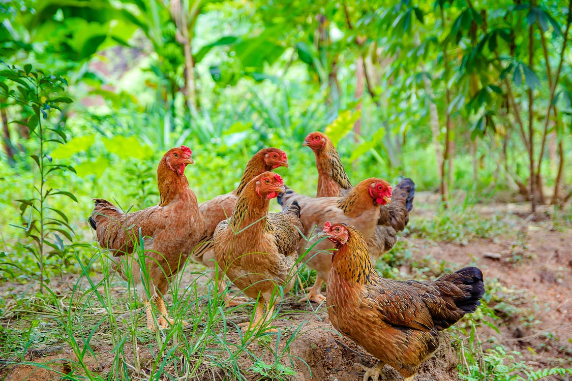 Brown and Red Hens on Ground