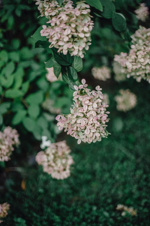 Blooming Hydrangea paniculata with lush green leaves in garden