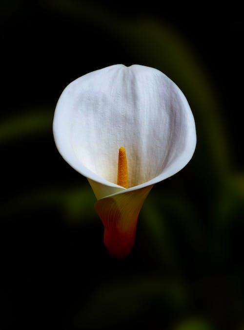 White and Orange Flower Bud