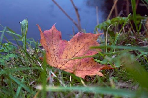 Foto d'estoc gratuïta de aigua, fulla, fulla de tardor, herba