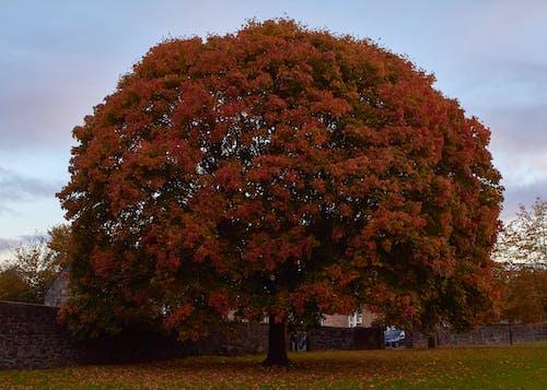 Foto d'estoc gratuïta de arbre, castanyer, tardor
