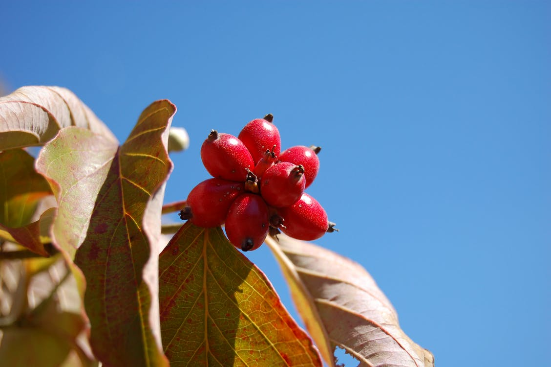 Free stock photo of red berries