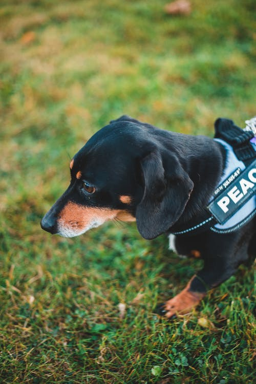 From above of cute black domestic dachshund wearing vest walking on grassy field in nature with blurred background in daytime