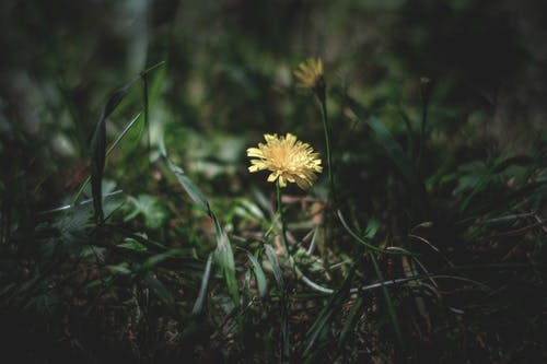 Blooming dandelions with pleasant aroma growing on meadow