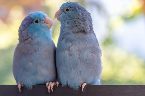 Free stock photo of blau, Federkleid, paar