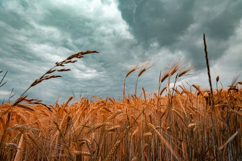 Brown Wheat Field Under Cloudy Sky