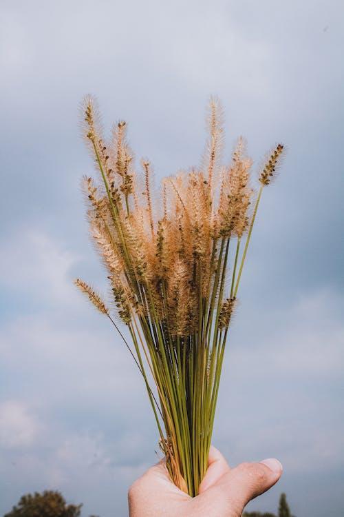 Brown Wheat Under Blue Sky