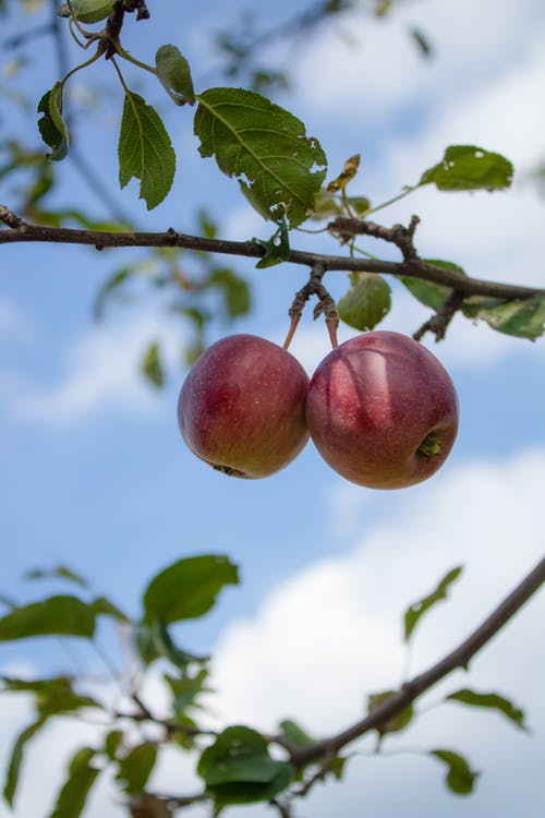 Two Red Apples on Tree Branch