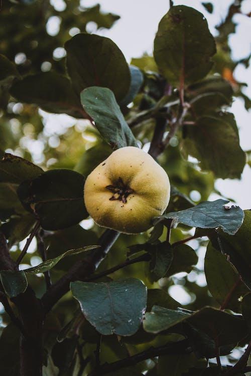 Green Round Fruit on Tree