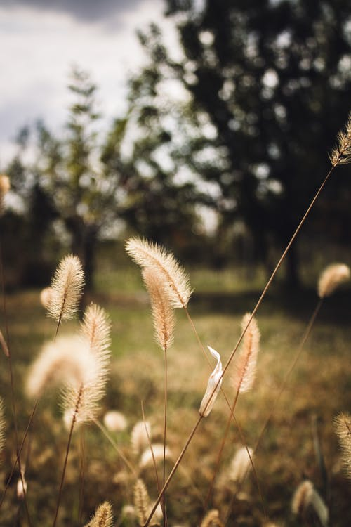 White Wheat in Tilt Shift Lens