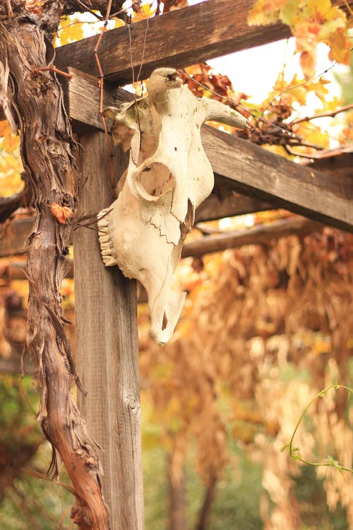 Animal skull attached to vine trellis in countryside