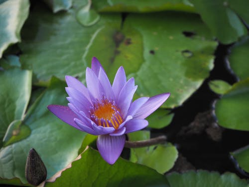 Gratis arkivbilde med lotus