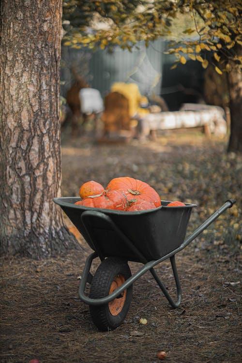 Orange Pumpkins on Wheelbarrow