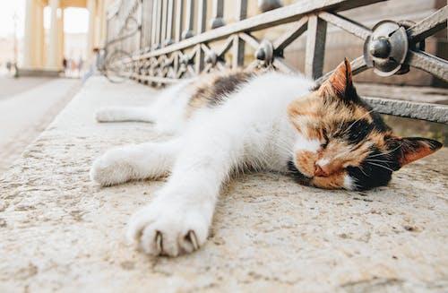 Calico Cat Lying on Floor