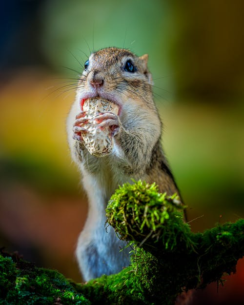 Funny little Eutamias sibiricus chipmunk eating peanut while sitting on tree branch covered with green leaves in forest