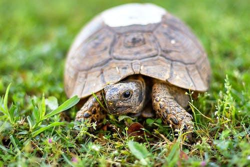 A Brown Tortoise on Green Grass