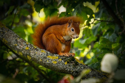 Red Squirrel on Tree Branch