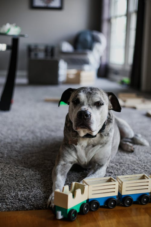 Gray domestic dog on carpet in apartment