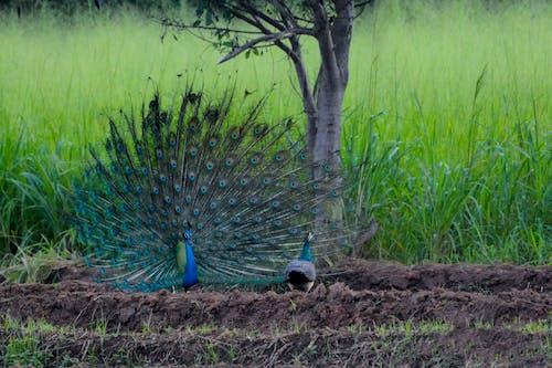 Kostnadsfri bild av påfågel