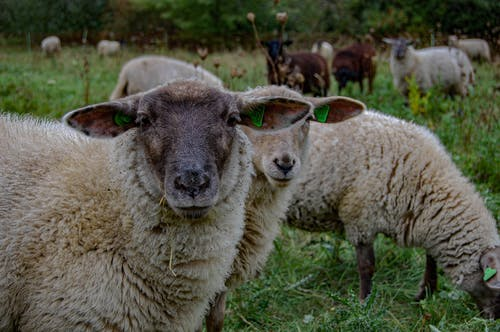Group of Sheep on Green Grass Field