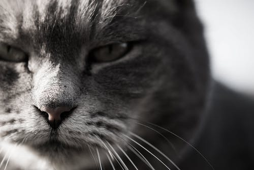 Black and white of purebred cat muzzle with attentive serious look sitting at home