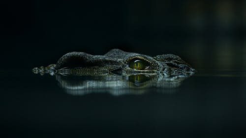 Closeup of eye of wild crocodile with smooth skin swimming in calm river water