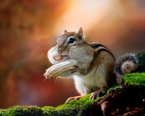 Cute Eutamias sibiricus chipmunk with cheeks full of nuts in forest