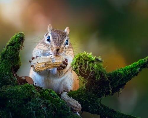 Fluffy little Siberian chipmunk sitting on tree twig covered with green foliage and gnawing peanut on sunny day in forest