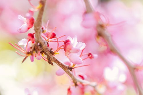 Closeup of bright pink cherry blossoms with delicate petals on twigs in park