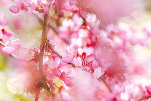 Closeup of delicate blooming flowers of cherry blossom on tree twig in spring garden