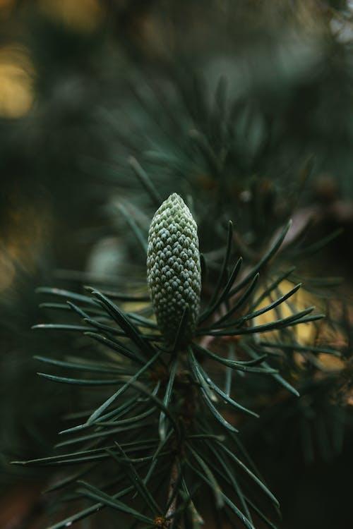 Close-Up Shot of Conifer Cone