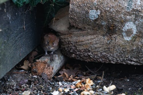 A Brown Rat near the Tree Trunk